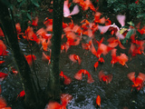 Scarlet Ibises, Eudocimus Ruber, Native to South America Photographie par Frans Lanting