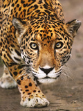 Jaguar Stalking, Panthera Onca, Belize Photographic Print by Frans Lanting