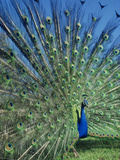 Peacock Male Displaying, Pavo Cristatus, Central America Photographie par Frans Lanting