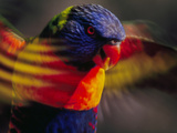 Rainbow Lorikeet Flapping Wings, Trichoglossus Haematodus, Southeast Australia Photographic Print by Frans Lanting