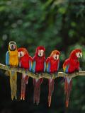 Scarlet Macaw, Ara Chloroptera, and Blue-And-Yellow Macaw, Ara Ararauna, Tambopata Nat'l Res, Peru Stampa fotografica di Frans Lanting