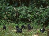 Bonobo Family Group in Forest Clearing, Pan Paniscus, Congo (DRC) Photographic Print by Frans Lanting