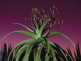 Aloe in Bloom, Aloe Vaombe, Southern Madagascar Photographic Print by Frans Lanting