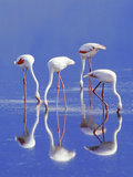 Lesser Flamingoes Feeding, Phoenicopterus Minor, Lake Nakuru National Park, Kenya Photographic Print by Frans Lanting