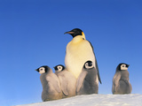 Emperor Penguin with Chicks, Aptenodytes Forsteri, Antarctica Photographic Print by Frans Lanting