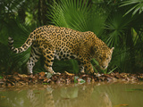 Jaguar at Waterhole, Panthera Onca, Belize Photographic Print by Frans Lanting