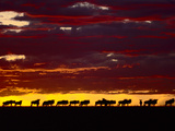 Wildebeests at Dawn, Connochaetes Taurinus, Masai Mara Reserve, Kenya Photographic Print by Frans Lanting
