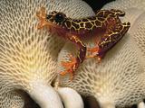 Clown Tree Frog, Hyla Leucophyllata, on Mushroom, Tambopata National Reserve, Peru Photographic Print by Frans Lanting