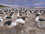 Black-Browed Albatrosses Courting, Thalassarche Melanophrys, Steeple Jason Island, Falkland Islands Photographic Print by Frans Lanting