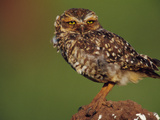 Burrowing Owl Atop Termite Mound, Athene Cunicularia, Emas National Park, Brazil Photographic Print by Frans Lanting