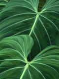 Jungle Foliage, Atlantic Forest, Brazil Reproduction photographique par Frans Lanting