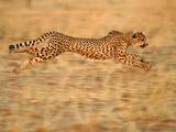 Cheetah Running, Acinonyx Jubatus, Namibia Fotografisk tryk af Frans Lanting