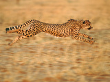Cheetah Running, Acinonyx Jubatus, Namibia Photographic Print by Frans Lanting