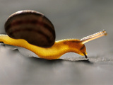 Land Snail, Monterey Bay, California Photographic Print by Frans Lanting