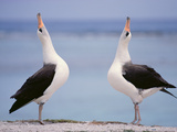 Laysan Albatrosses Courting, Phoebastria Immutabilis, Hawaiian Leeward Islands Photographic Print by Frans Lanting