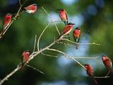 Southern Carmine Bee Eaters, Merops Nubicus Nubicoides, Okavango Delta, Botswana Photographie par Frans Lanting