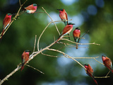 Southern Carmine Bee Eaters, Merops Nubicus Nubicoides, Okavango Delta, Botswana Photographic Print by Frans Lanting
