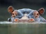 Hippopotamus Surfacing, Hippopotamus Amphibius, Garamba National Park, Congo (DRC) Fotografisk tryk af Frans Lanting