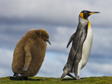 King Penguin Chick Following Parent, Aptenodytes Patagonicus, Falkland Islands Photographic Print by Frans Lanting