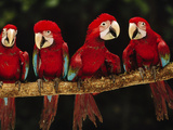Red-And-Green Macaws on Branch, Ara Chloroptera, Tambopata National Reserve, Peru Photographic Print by Frans Lanting