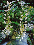Orchids, Angraecum Sp., Ranomafana National Park, Madagascar Photographic Print by Frans Lanting