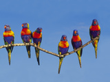 Rainbow Lorikeets, Trichoglossus Haematodus, Southeast Australia Photographic Print by Frans Lanting