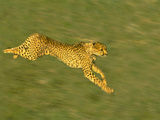 Cheetah Running, Acinonyx Jubatus, Kenya Photographic Print by Frans Lanting