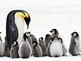 Emperor Penguin Parent Looking for Chick in Creche, Aptenodytes Forsteri, Weddell Sea, Antarctica Photographie par Frans Lanting