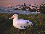 Wandering Albatross on Nest, Diomedea Exulans, South Georgia Island Photographic Print by Frans Lanting