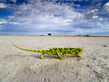 Flap-Necked Chameleon Crossing Salt Pan, Chamaeleo Dilepis Dilepis, Makgadikgadi Pans, Botswana Photographie par Frans Lanting