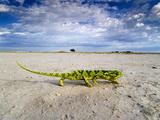 Flap-Necked Chameleon Crossing Salt Pan, Chamaeleo Dilepis Dilepis, Makgadikgadi Pans, Botswana Fotodruck von Frans Lanting