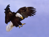 Bald Eagle Landing, Haliaeetus Leucocephalus, Southeast Alaska Lámina fotográfica por Frans Lanting