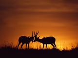 Thomson's Gazelles Sparring, Gazella Thomsonii, Masai Mara Reserve, Kenya Photographic Print by Frans Lanting