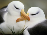 Black-Browed Albatrosses Courting, Thalassarche Melanophrys, South Georgia Island Reproduction photographique par Frans Lanting