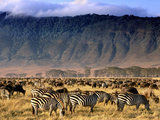 Zebras and Wildebeests Grazing, Ngorongoro Conservation Area, Tanzania Fotografisk tryk af Frans Lanting