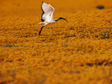 Sacred Ibis Landing in Field of Daisies, Threskiornis Aethiopicus, Namaqualand, South Africa Reproduction photographique par Frans Lanting