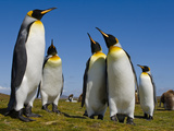 King Penguins, Aptenodytes Patagonicus, Falkland Islands Photographic Print by Frans Lanting