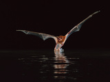 Greater Bulldog Bat Hunting, Noctilio Leporinus, Barro Colorado Island, Panama Photographic Print by Frans Lanting