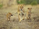 Cub Holding onto Lioness Tail, Panthera Leo, Masai Mara Reserve, Kenya Fotografisk tryk af Frans Lanting