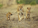 Cub Holding onto Lioness Tail, Panthera Leo, Masai Mara Reserve, Kenya Fotodruck von Frans Lanting