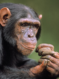 Chimpanzee Male, Pan Troglodytes, Native to Central Africa Photographic Print by Frans Lanting