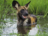 African Wild Dog Cooling Off in Water, Lycaon Pictus, Okavango Delta, Botswana Photographic Print by Frans Lanting