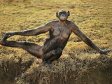 Bonobo Female Stretching, Pan Paniscus, Native to Congo (DRC) Photographic Print by Frans Lanting
