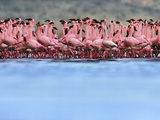 Lesser Flamingo Mass Courtship, Phoenicopterus Minor, Lake Nakuru National Park, Kenya Photographic Print by Frans Lanting