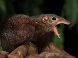 Greater Treeshrew, Tupaia Tana, Danum Valley Conservation Area, Borneo Photographic Print by Frans Lanting