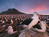 Black-Browed Albatross Colony, Thalassarche Melanophrys, Steeple Jason Islands, Falkland Islands Photographic Print by Frans Lanting