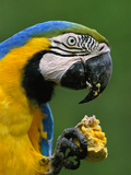 Blue-And-Yellow Macaw Feeding on Palm Fruit, Ara Ararauna, Tambopata National Reserve, Peru Photographic Print by Frans Lanting