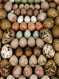 Bird Egg Collection, Western Foundation of Vertebrate Zoology, Los Angeles, California Papier Photo par Frans Lanting