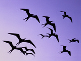 Magnificent Frigate Birds in Flight, Fregata Magnificens, Belize Photographie par Frans Lanting