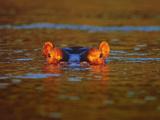 Young Hippo, Hippopotamus Amphibius, Linyanti Swamp, Botswana Photographic Print by Frans Lanting